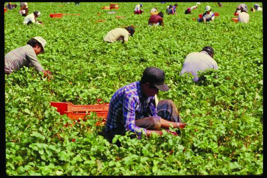 farmworkers-berries