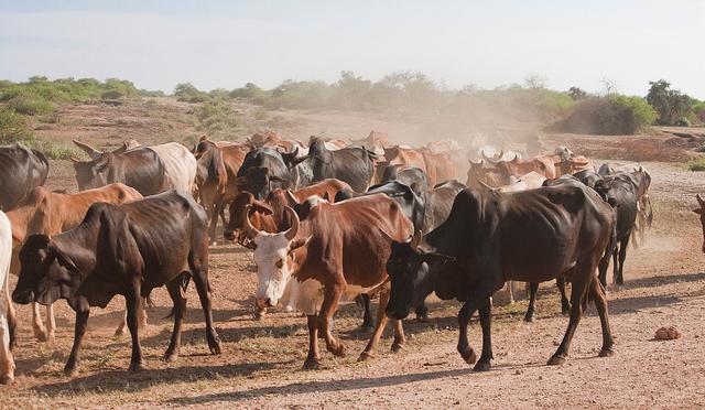 SAVANNAS-african-cattle