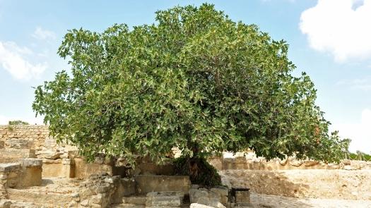 bigstock-Fig-Tree-37728229
