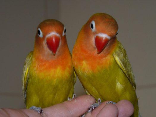 aves-agapornis-e1500024091551