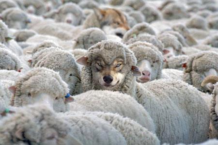 wolf-among-sheep