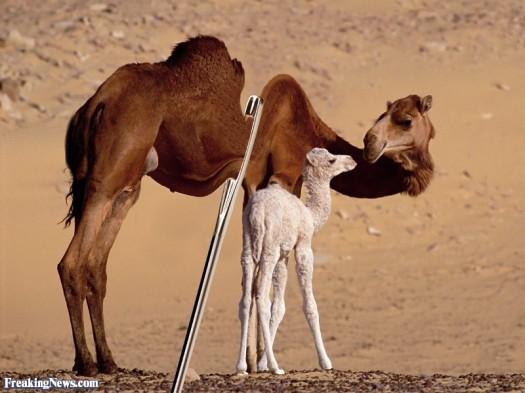 Camel-Going-Through-the-Eye-of-a-Needle--60704